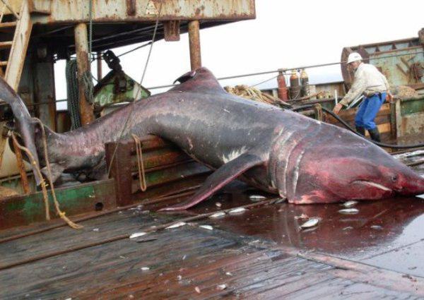 Dev Köpekbalığı