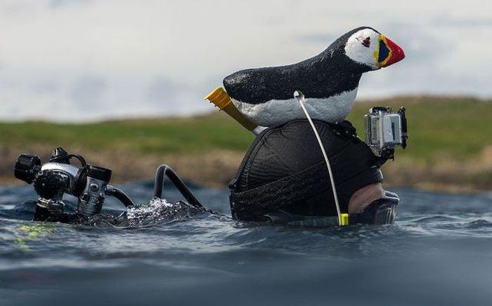 sudaki penguen