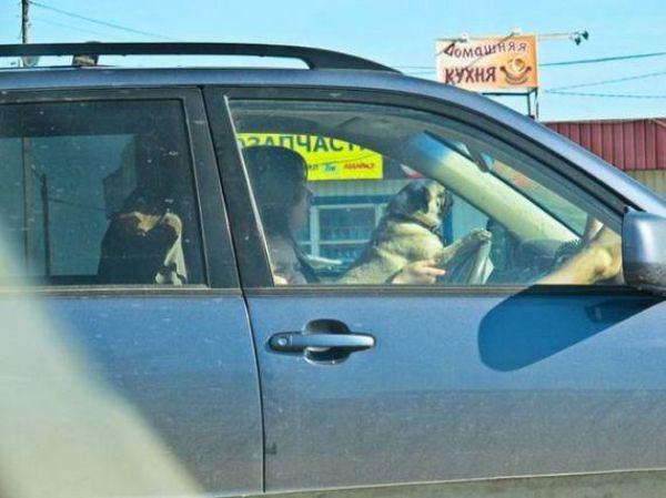 Köpekle Araba Süren Kadın