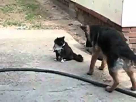 k9 köpeği kediye karşı