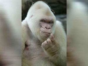 Albino Goril