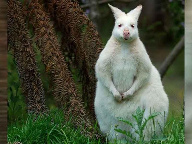 Albino Kanguru