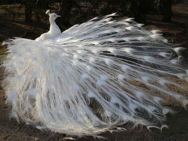 Albino Tavuz Kuşu