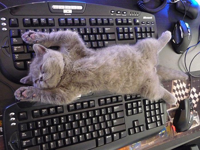 Çalışmayı Engellemeye Çalışan Kedi
