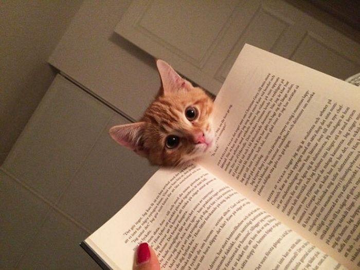 Kitap Okumaya Çalışan Kediler
