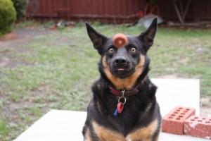 Kafasına Top İsabet Etmek Üzere Olan Köpek