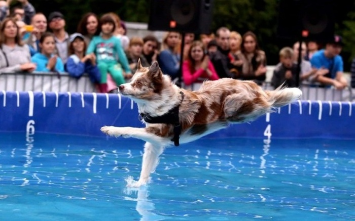 Havuza Dalmak Üzere Olan Köpek