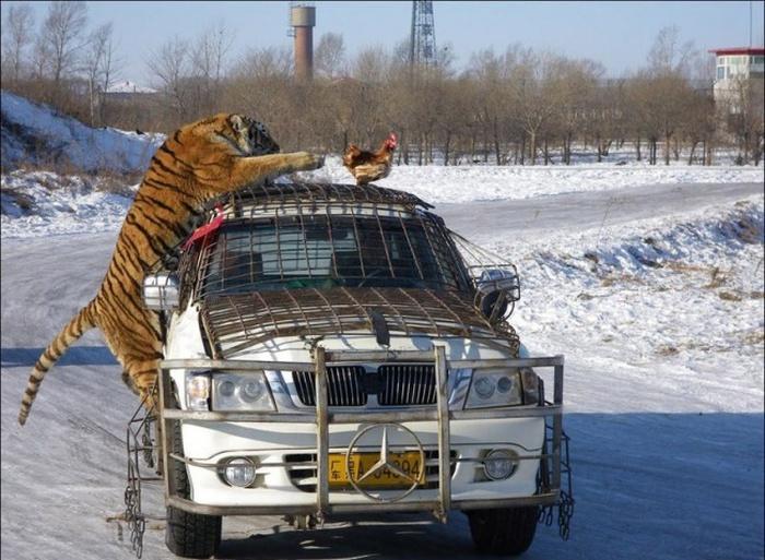 Tavuğu yakalamak üzere olan aslan