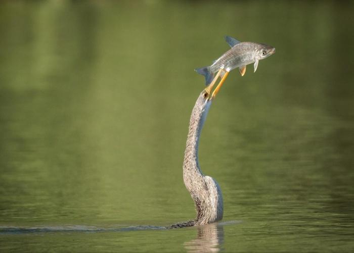 Havada Balığı Yakalayan Su Yılanı