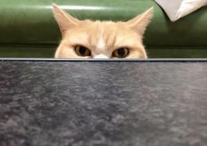 Kötü Kedi Şerafettin Japonya Şubesi